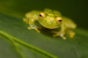 RF - Reticulated Glass Frog (Hyalinobatrachium valerioi) Osa Peninsula, Costa Rica. (This image may be licensed either as rights managed or royalty free.)  -  Alex  Hyde