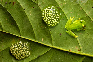 RF - Fleischmann's Glassfrog (Hyalinobatrachium fleischmanni) male attending eggs on underside of leaf. Osa Peninsula, Costa Rica. (This image may be licensed either as rights managed or royalty free....  -  Alex  Hyde