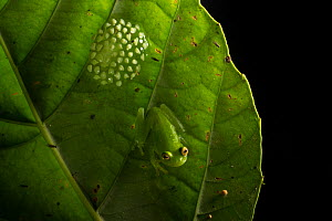 Fleischmann's glassfrog (Hyalinobatrachium fleischmanni) male attending eggs on the underside of a leaf overhanging a rainforest stream, the male will occasionally sit on the egg mass and empty his bl... - Alex  Hyde