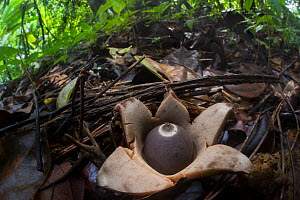 Earth star fungus (Geastraceae) emerging from leaf litter on rainforest floor, Corcovado National Park, Osa Peninsula, Costa Rica  -  Alex  Hyde