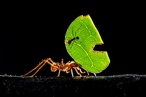Leaf-cutter ant (Atta cephalotes) carrying pieces of leaf that they have harvested back to their underground fungus garden in their nest, Osa Peninsula, Costa Rica  -  Alex  Hyde