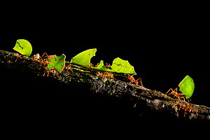 Leaf-cutter ants (Atta cephalotes) carrying pieces of leaf that they have harvested back to their underground fungus garden in their nest, Osa Peninsula, Costa Rica  -  Alex  Hyde