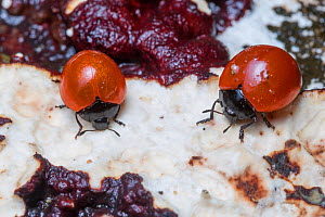 Pleasing fungus beetles (Erotylidae) feeding on fungus on a decaying tree stump, Corcovado National Park, Osa Peninsula, Costa Rica - Alex  Hyde