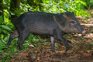 Collared peccary (Tayassu tajacu) Corcovado National Park, Osa Peninsula, Costa Rica, - Alex  Hyde