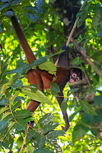Black-handed spider monkey (Ateles geoffroyi) Corcovado National Park, Osa Peninsula, Costa Rica. IUCN Red List Endangered species.  -  Alex  Hyde