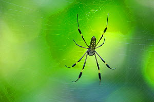 RF - Golden Orb-web Spider female (Nephila clavipes) in web. Corcovado National Park, Osa Peninsula, Costa Rica, (This image may be licensed either as rights managed or royalty free.) - Alex  Hyde