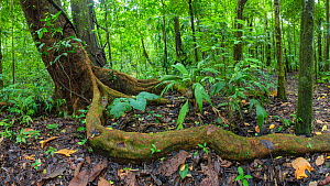 Wild cashew tree (Anacardium excelsum) with large root snaking above the ground, Corcovado National Park, Osa Peninsula, Costa Rica  -  Alex  Hyde