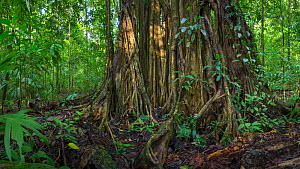 Strangler fig (Ficus sp) huge aerial roots, Corcovado National Park, Osa Peninsula, Costa Rica,  Digitally stitched panoramic image.  -  Alex  Hyde