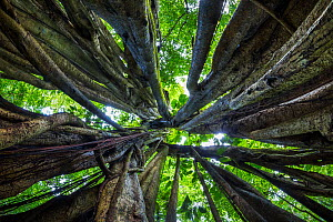 RF - View of rainforest canopy through aerial roots of huge Stangler Fig (Ficus sp.). Corcovado National Park, Osa Peninsula, Costa Rica. (This image may be licensed either as rights managed or royalt...  -  Alex  Hyde