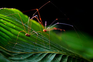 Harvestman (Opiliones) two on a leaf, Corcovado National Park, Osa Peninsula, Costa Rica  -  Alex  Hyde