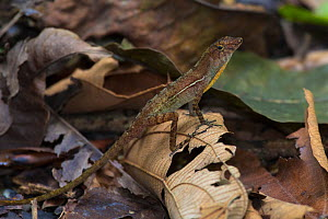 Golfo dulce / Many-scaled anole (Norops / Anolis polylepis) male signals to other members of its species by flashing a section of brightly coloured skin on its neck, known as a dewlap, endemic to the...  -  Alex  Hyde