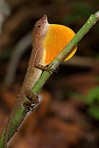 RF- Golfo Dulce Anole / Many-scaled Anole (Norops / Anolis polylepis) male signalling by extending dewlap. Endemic to Golfo Dulce region of Costa Rica. Corcovado National Park, Osa Peninsula, Costa Ri... - Alex  Hyde