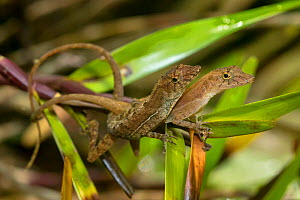 Golfo dulce / Many-scaled anole (Norops / Anolis polylepis) mating pair with male on top, endemic to the Golfo Dulce region of Costa Rica, Corcovado National Park, Osa Peninsula, Costa Rica  -  Alex  Hyde