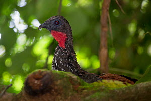Crested guan (Penelope purpurascens) Corcovado National Park, Osa Peninsula, Costa Rica - Alex  Hyde