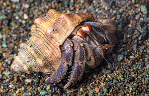 Ecuador / Pacific hermit crab (Coenobita compressus) on sandy beach, Corcovado National Park, Osa Peninsula, Costa Rica  -  Alex  Hyde