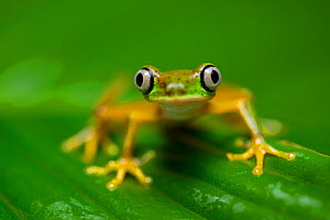RF - Lemur Leaf Frog (Agalychnis lemur) in rainforest. Central Caribbean foothills, Costa Rica. IUCN Red List. Critically endangered species. (This image may be licensed either as rights managed or ro...  -  Alex  Hyde