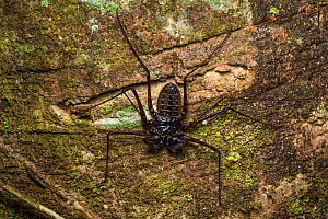 Tailless whipscorpion (Amblypygi) on a tree trunk at night. Central Caribbean foothills, Costa Rica. - Alex  Hyde