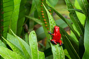 RF - Strawberry Poison Frog (Oophaga pumilio). Central Caribbean foothills, Costa Rica. (This image may be licensed either as rights managed or royalty free.)  -  Alex  Hyde