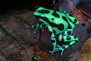 Green and black poison frog (Dendrobates auratus) Central Caribbean foothills, Costa Rica  -  Alex  Hyde