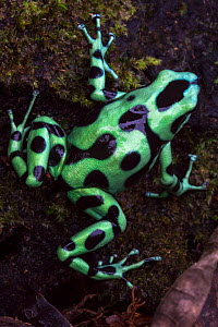 RF - Green and Black Poison Frog (Dendrobates auratus) Central Caribbean foothills, Costa Rica. (This image may be licensed either as rights managed or royalty free.)  -  Alex  Hyde