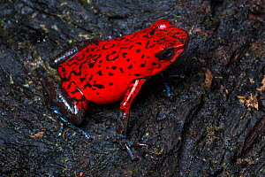 Strawberry poison frog (Oophaga pumilio) Central Caribbean foothills, Costa Rica  -  Alex  Hyde