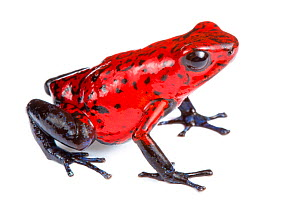 Strawberry poison frog (Oophaga pumilio) photographed on a white background in mobile field studio, Central Caribbean foothills, Costa Rica - Alex  Hyde