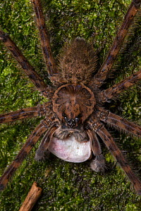 Fishing spider (Trechalea) male with a silk-wrapped fish as a nuptial gift to offer to a female as part of his courtship behaviour, Central Caribbean foothills, Costa Rica. - Alex  Hyde