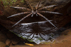 Fishing spider (Trechalea) waiting to catch a Killifish (Cyprinodontiformes) in a rainforest stream at night, Central Caribbean foothills, Costa Rica. - Alex  Hyde