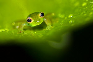 Spined glassfrog (Teratohyla spinosa) Central Caribbean foothills, Costa Rica.  -  Alex  Hyde