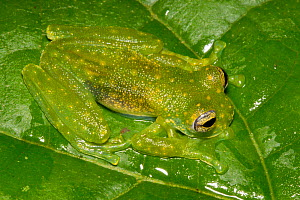 White-spotted cochran frog (Sachatamia albomaculata) Central Caribbean foothills, Costa Rica  -  Alex  Hyde