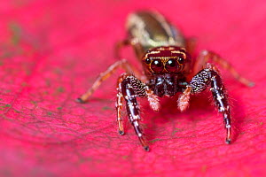 RF - Jumping spider (Salticidae) Central Caribbean foothills, Costa Rica. - Alex  Hyde