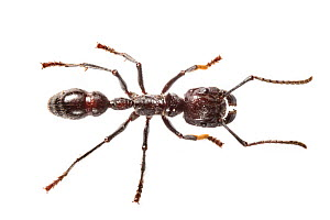Bullet ant (Paraponera clavata) worker portrait, photographed (with extreme caution) on a white background in mobile field studio. Central Caribbean foothills, Costa Rica. This insect's sting is repo...  -  Alex  Hyde