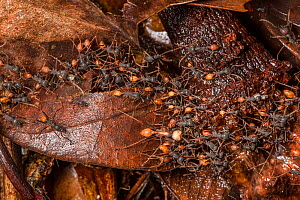 Army ants (Eciton sp) forming a trail on the rainforest floor at night, Central Caribbean foothills, Costa Rica. - Alex  Hyde