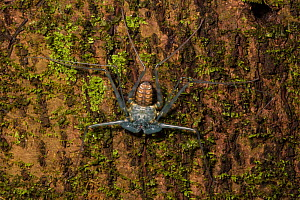Tailless whipscorpion (Amblypygi) shedding its skin, showing its newly revealed exoskeleton darkening as it hardens, Central Caribbean foothills, Costa Rica. Sequence 5/5 - Alex  Hyde