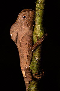 Helmeted basilisk (Corytophanes cristatus) this arboreal lizard is often found clinging vertically to trunks, Central Caribbean foothills, Costa Rica.  -  Alex  Hyde