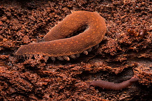 Velvet worms (Onychophora) discovered under a piece of bark on a rotting log, the smaller juvenile is in the bottom right of the frame, Central Caribbean foothills, Costa Rica. - Alex  Hyde