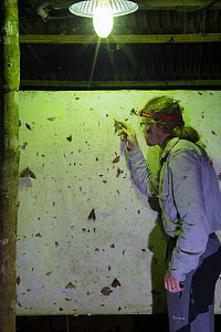 Photographer Alex Hyde identifying moths attracted to a UV light trap at night in the rainforest, Cordillera de Talamanca mountain range, Caribbean Slopes, Costa Rica. May 2014  -  Alex  Hyde