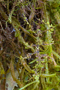 Moss mimic stick insect (Trychopeplus laciniatus) showing amazing camouflage on mossy vine, Cordillera de Talamanca mountain range, Caribbean Slopes, Costa Rica.  -  Alex  Hyde