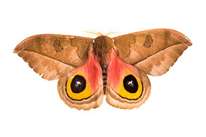 Silk moth (Automeris zugana) sequence 2 of 2, with wings open to reveal eyespots, a means of deterring predators, photographed on a white background in mobile field studio, Cordillera de Talamanca mou...  -  Alex  Hyde