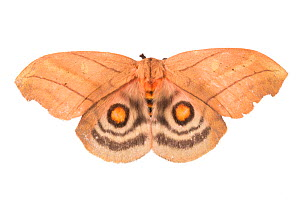 Saturniid moth (Saturniidae) sequence 2 of 2, with wings open to reveal eyespots, a means of deterring predators. Photographed on a white background in mobile field studio, Cordillera de Talamanca mou...  -  Alex  Hyde