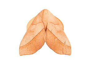 RF - Sequence 1 of 2, Saturniid moth (Saturniidae) on white background with wings folded. Cordillera de Talamanca mountain range, Caribbean Slopes, Costa Rica. Sequence 1 of 2. (This image may be lice...  -  Alex  Hyde