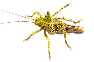 Moss mimicking katydid (Haemodiasma sp) photographed on a white background in mobile field studio, Cordillera de Talamanca mountain range, Caribbean Slopes, Costa Rica  -  Alex  Hyde