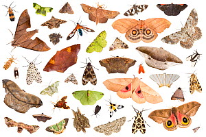 RF - Moths attracted to light trap in rainforest, on white background, image composite montage. Cordillera de Talamanca mountain range, Caribbean Slopes, Costa Rica. - Alex  Hyde