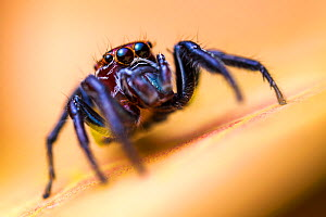 Jumping spider (Salticidae) hunting among vegetation, San Jose, Costa Rica. - Alex  Hyde