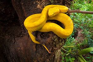 RF - Eyelash Pit Viper (Bothriechis schlegelii) Costa Rica. (This image may be licensed either as rights managed or royalty free.)  -  Alex  Hyde