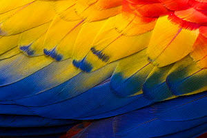 RF - Close up of feathers of a Scarlet Macaw (Ara macao) Osa Peninsula, Costa Rica. (This image may be licensed either as rights managed or royalty free.) - Alex  Hyde