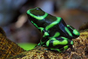 RF - Green and Black Poison Frog (Dendrobates auratus). Osa Peninsula, Costa Rica. (This image may be licensed either as rights managed or royalty free.)  -  Alex  Hyde