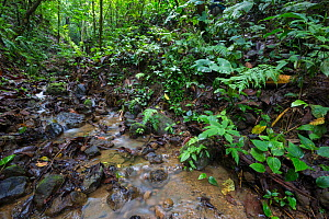 RF- Rainforest stream, habitat of Golfodulcean Poison Frog (Phyllobates vittatus). Osa Peninsula, Costa Rica. (This image may be licensed either as rights managed or royalty free.) - Alex  Hyde