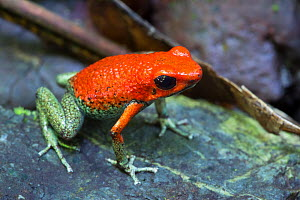 Granular poison frog (Oophaga granulifera) Osa Peninsula, Costa Rica. Vulnerable IUCN Red List species.  -  Alex  Hyde