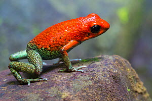 RF - Granular Poison Frog (Oophaga granulifera). Osa Peninsula, Costa Rica. Vulnerable species, IUCN Red List. (This image may be licensed either as rights managed or royalty free.)  -  Alex  Hyde